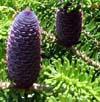 piñas (cono) de abeto (Abies)