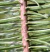 hojas de abeto (abies)