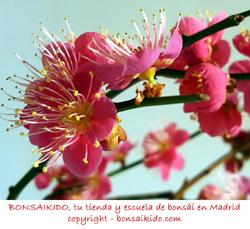 flores rosa de un prunus mume