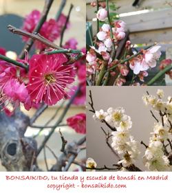 flores de un prunus mume bonsai