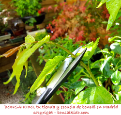 pinzado de un prunus mume bonsai