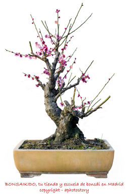 prunus mume bonsai