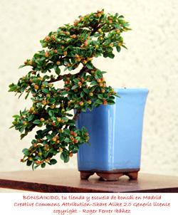 yemas de flors de un prunus mume bonsái
