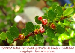 tronco de un prunus mume bonsai