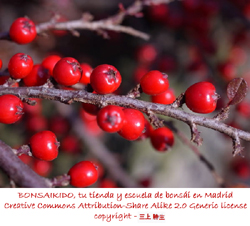 frutos de un prunus mume bonsai