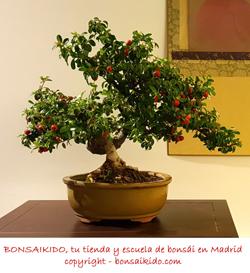 bonsai prunus mume