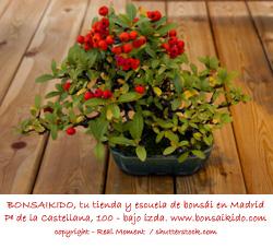 espino de fuego bonsai