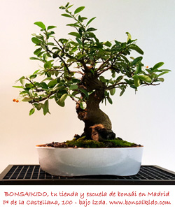 tronco de una piracanta bonsai