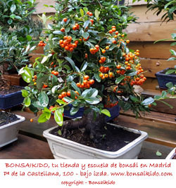 frutos de una piracanta bonsai