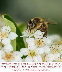 abeja sobre flores blancas de una piracanta