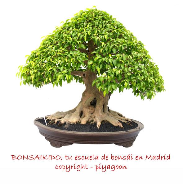 Ficus bonsái