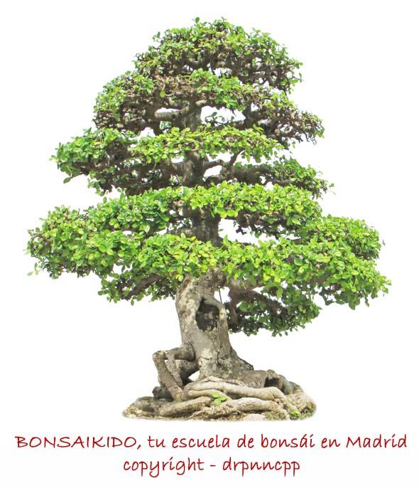 bonsai ficus - nebari