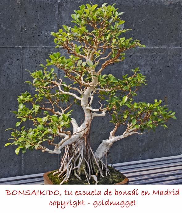 bonsai ficus banyan