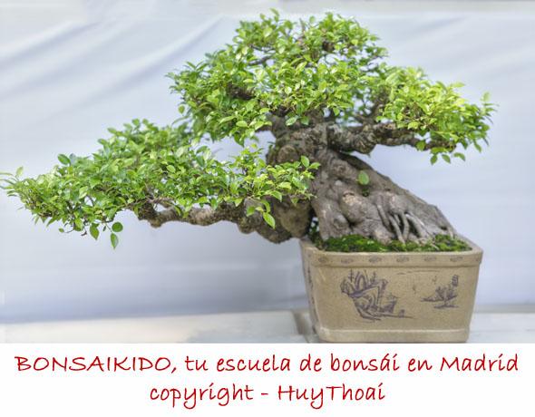 bonsai ficus - estilo semicascada