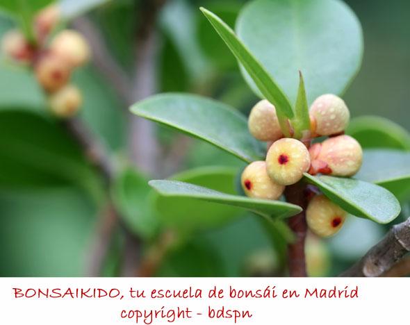 higos de Ficus bonsai