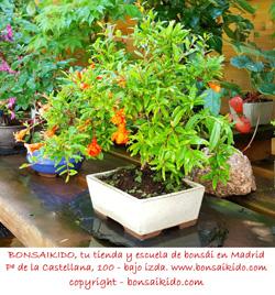 granado bonsai