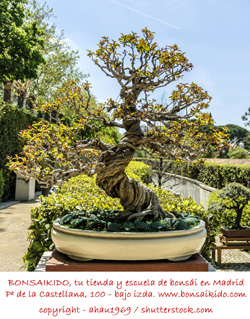granado bonsai con el tronco retorcido nejikan