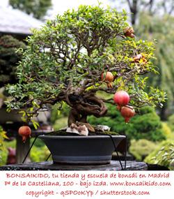 granado bonsai con frutos