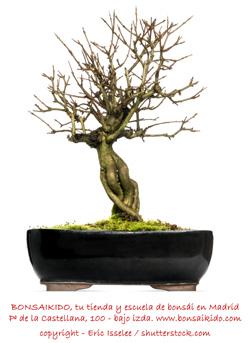tronco de granado bonsai