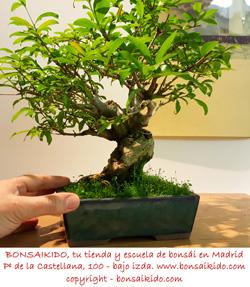 granado nejikan bonsai