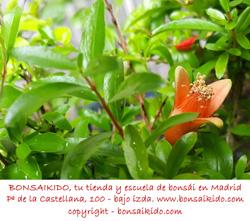 flores de un granado bonsai