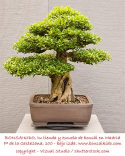 bonsai granado