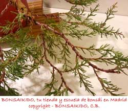 alambrado de un junipero bonsai