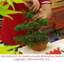 poda de un junipero bonsai