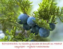 hojas y frutos de un junípero bonsai