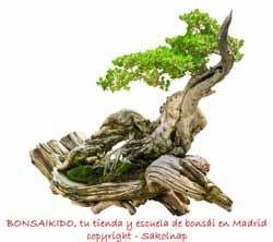 junípero bonsai