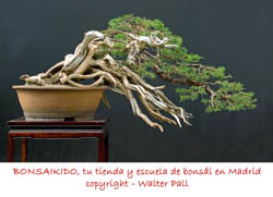 junipero bonsai semicascada