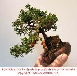 junipero bonsai tamaño sohin