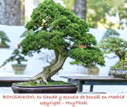 junipero bonsai estilo moyogui