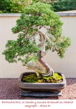 shari de un junipero bonsái