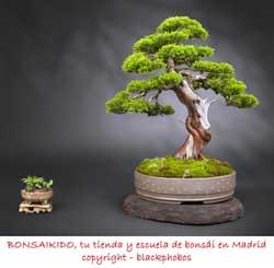 bonsai junipero