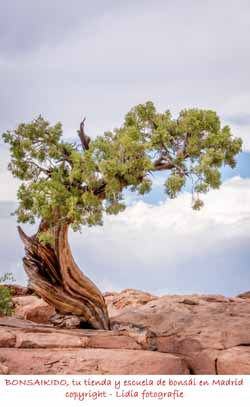 junipero en la naturaleza