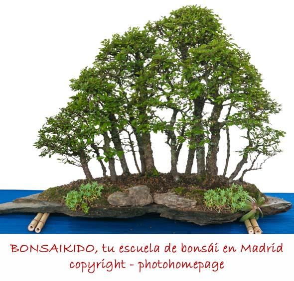 olmo bonsai - estilo bosque