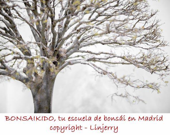 ramas de olmo bonsai