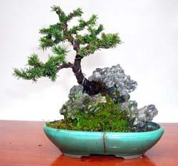 pícea sobre una roca - bonsai