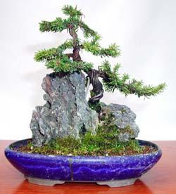 bonsai de pícea sobre roca