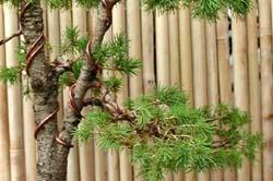 alambrado de una pícea bonsai