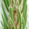 hojas de picea