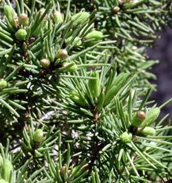 hojas de pícea bonsai