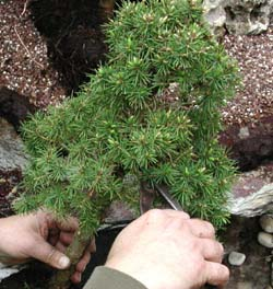 poda de una pícea bonsai