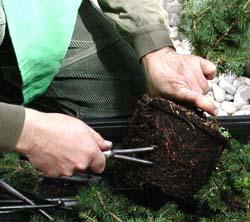poda de raíces de una pícea bonsai