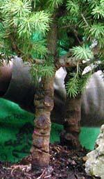 tronco de pícea bonsai