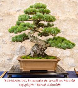 pino blanco japones