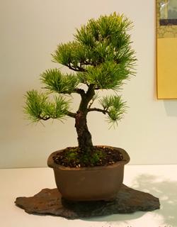 pino parviflora bonsai trasplantado