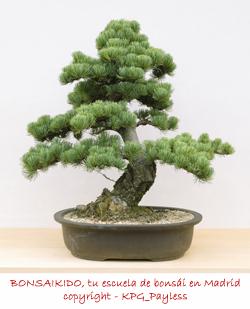 pino blanco japonés (Pinus parviflora) bonsai