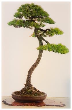 bonsai de pino blanco japones en estilo bunjing